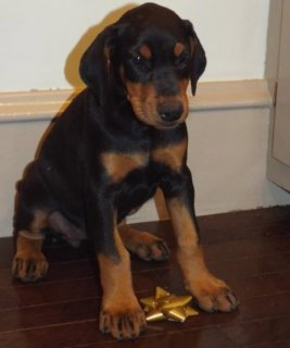 Doberman Pinscher puppies for Adoption