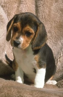 Adorable Male and Female Beagle puppies ready to go home........