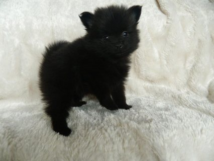 Black And Grey Teacup Pomeranian Puppies For Sale22