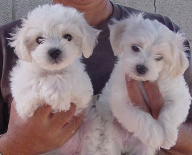 Snow white bichon frise puppies for adoption111