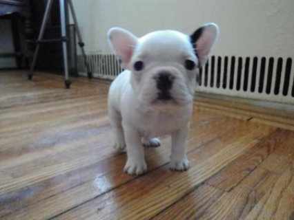 Two Gorgeous French Bulldog Puppies for adoption11111