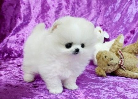 Healthy Pomeranian Puppies For New Homes123
