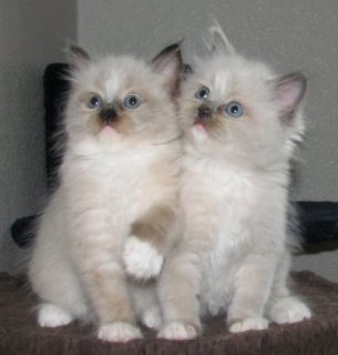 صور Cute Male And Female Ragdoll Kittens For New Home1 1