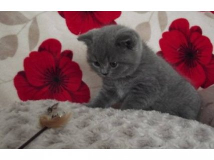 Cutest British Short Hair Kittens Available For Rehoming23