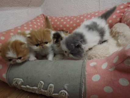 صور Beautiful Persian Kittens For Sale 1