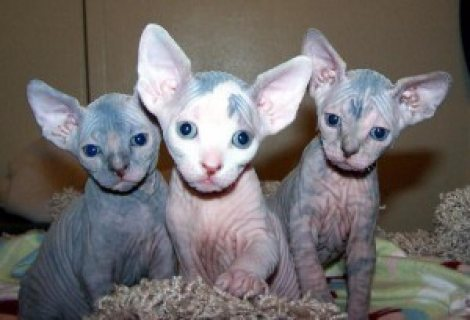 Sphynx Kittens for Adoption........//////