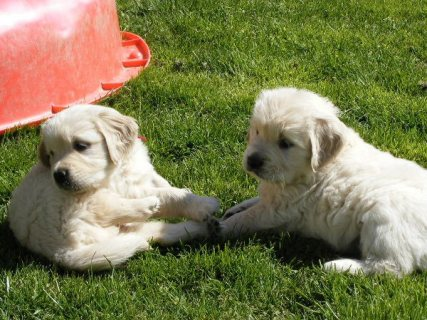 Awesome Golden Retriever Puppies
