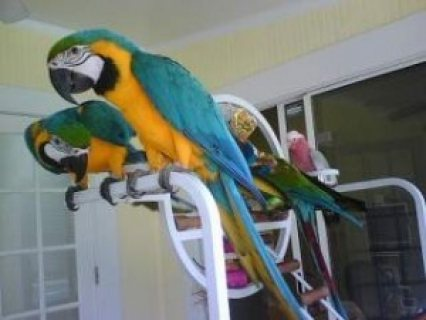 صور Tamed and Talking Macaw Parrots for sale.,./././/. 1