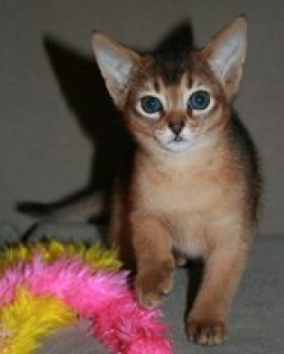 MALE AND FEMALE ABYSSINIAN KITTENS FOR SALE../../