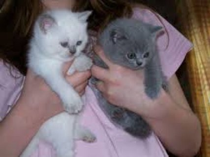 Cute British short hair kittens for sale../../