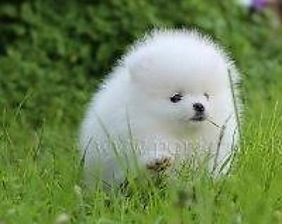صور Pure white teacup pomeranian puppy for sale.Show type purebred p 1