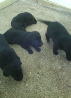 Black Labrador pupies good for adorption