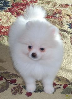 Healthy Home raised Pomeranian pups available For Sale