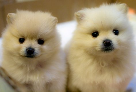 Gorgeous Pomeranian Puppies Available For Sale