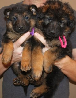German Shepherd puppies for a new home111