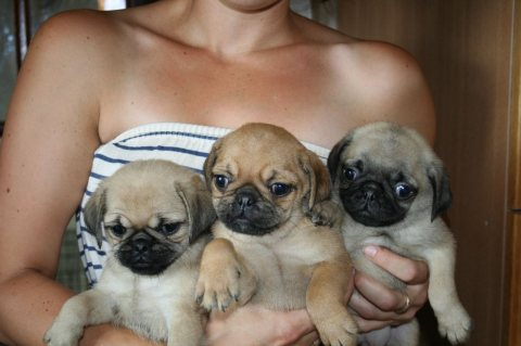 1 Black And 1 Grey Pug Puppies Available For Good Home