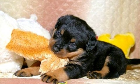 Both Rottweiler Puppies available
