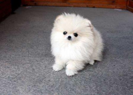 12 weeks Pomeranian puppies