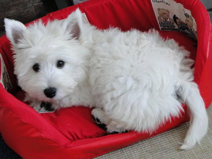Cute West Highland Terrier Puppies For New Hones