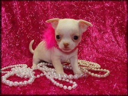 Teacup Chihuahua Puppies Available