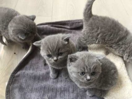 صور Blue Tabby British Shorthair 1