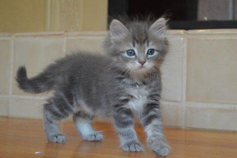 Siberian Kittens ready to go For Good Homes