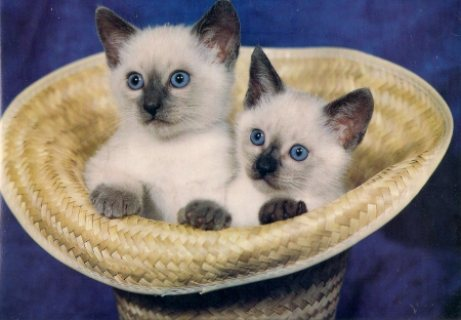 Siamese Kittens for sale  To Good Homes