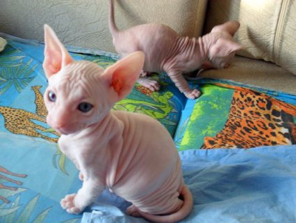 صور Cute Sphynx Kittens Available For Sale 1