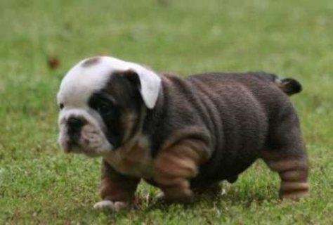 صور Cute,sweet well trained adorable AKC registered English bulldogs 1