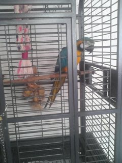 beautiful blue and gold macaw. talking parrot. says lots of wo