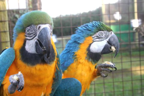صور Home raised Blue And Gold Macaw Parrots Available.909	 1
