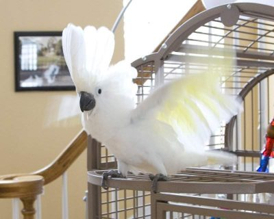 beautifull male and female umbrella Cockatoos for sale11111