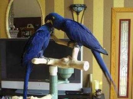 Cute  Bonded Pair Of Hyacinth Macaw