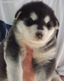 Siberian Husky Puppies......