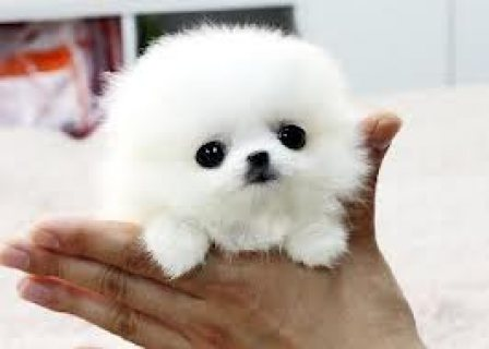 Super TINY POMERANIAN PUPS Now Available,,,