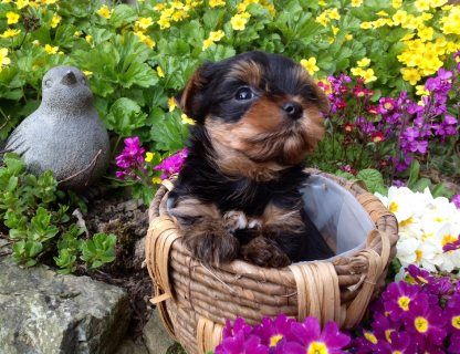 Yorkie Puppies Males & Females,,,,,,,,,,,