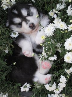 Akc registered Siberian Husky puppies,,,,