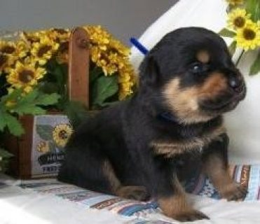 12 weeks old Rottweiler Puppies for Adoption,,,,,