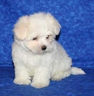 Teacup Maltese Puppies.......