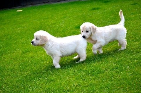 Golden Retriever puppies for adoption-------