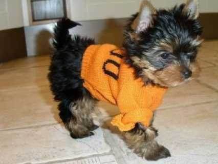 Teacup Yorkie Puppies Available for adoption,,,