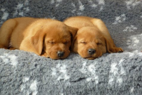 Labrador Puppies for adoption-----