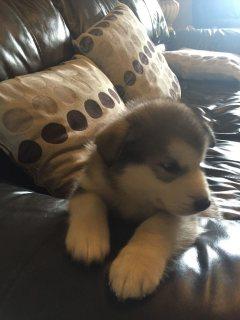Alaskan Malamute Puppies,,,,,