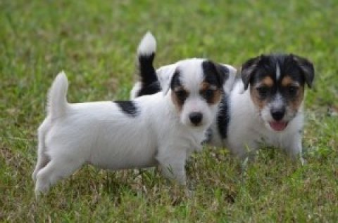 Jack Russell for adoption,,,,,,,,,,,,,