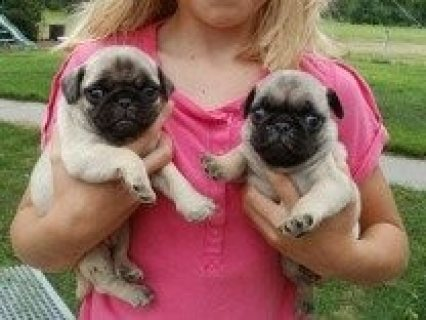 Pug Puppies for adoption------