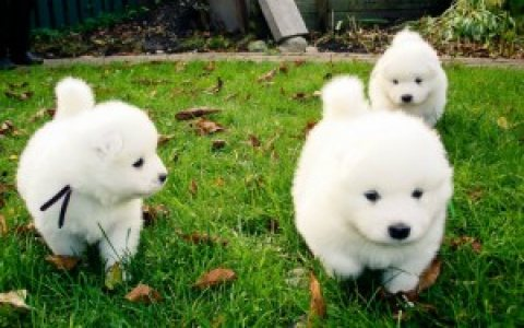 SAMOYED PUPPIES for adoption!.,.,.,.,.,,