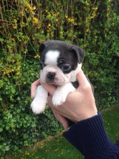 Adorable boxer puppies for Adoption.......