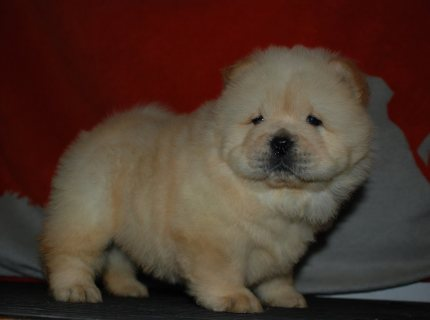 chow chow puppies....