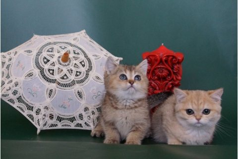 Healthy Scottish Fold Kittens for adoption.,....