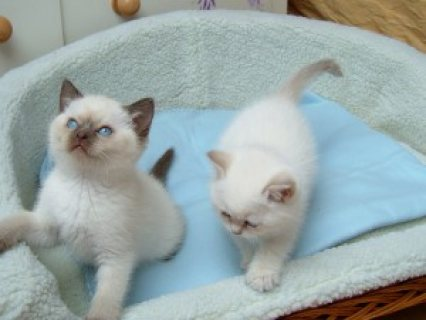 Cute and Lovely Home Raised Rag doll Kittens,,,,,,,